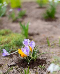 crocus_Spring_energy_laura_clark_soul_wise_living-min